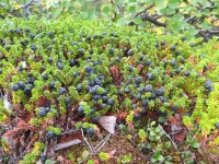 Black Crowberry