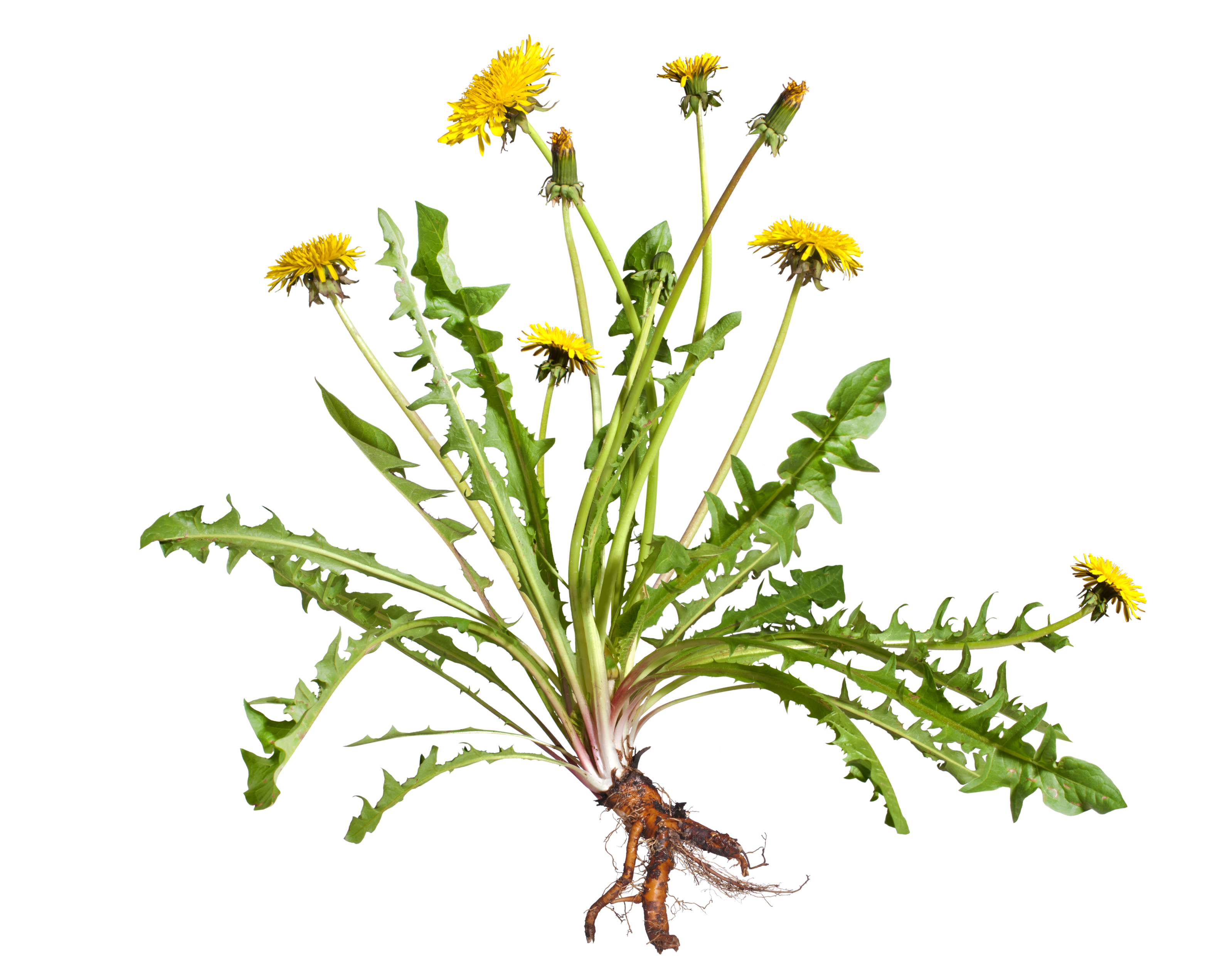 Edible Herbs Nak Azdli Whut En