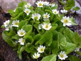 White Mountain Marsh Marigold