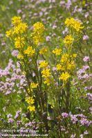 Marsh Yellow Cress